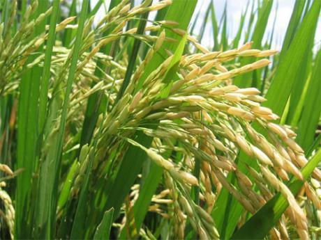 Tierra Agricola Listo Para Arroz